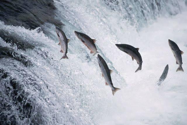Nhớ mùa cá lúi sông Kôn