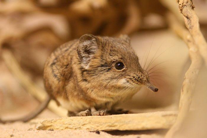 Sau nửa thế kỷ biệt tích, loài chuột 'siêu dễ thương' lại xuất hiện