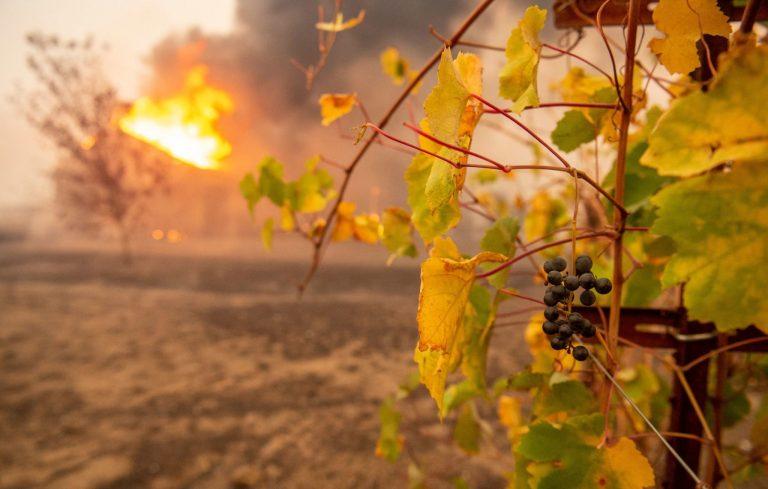 Cháy rừng làm thay đổi hương vị nho California