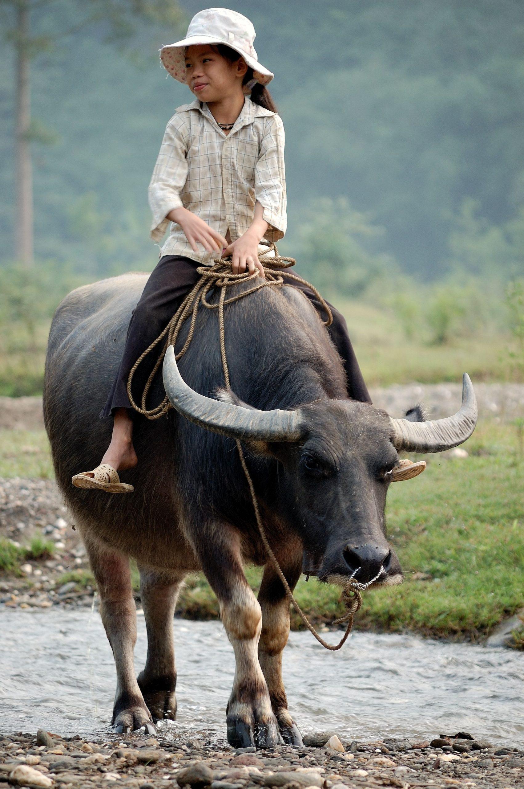 Trâu xứ Thái & bò nước Việt