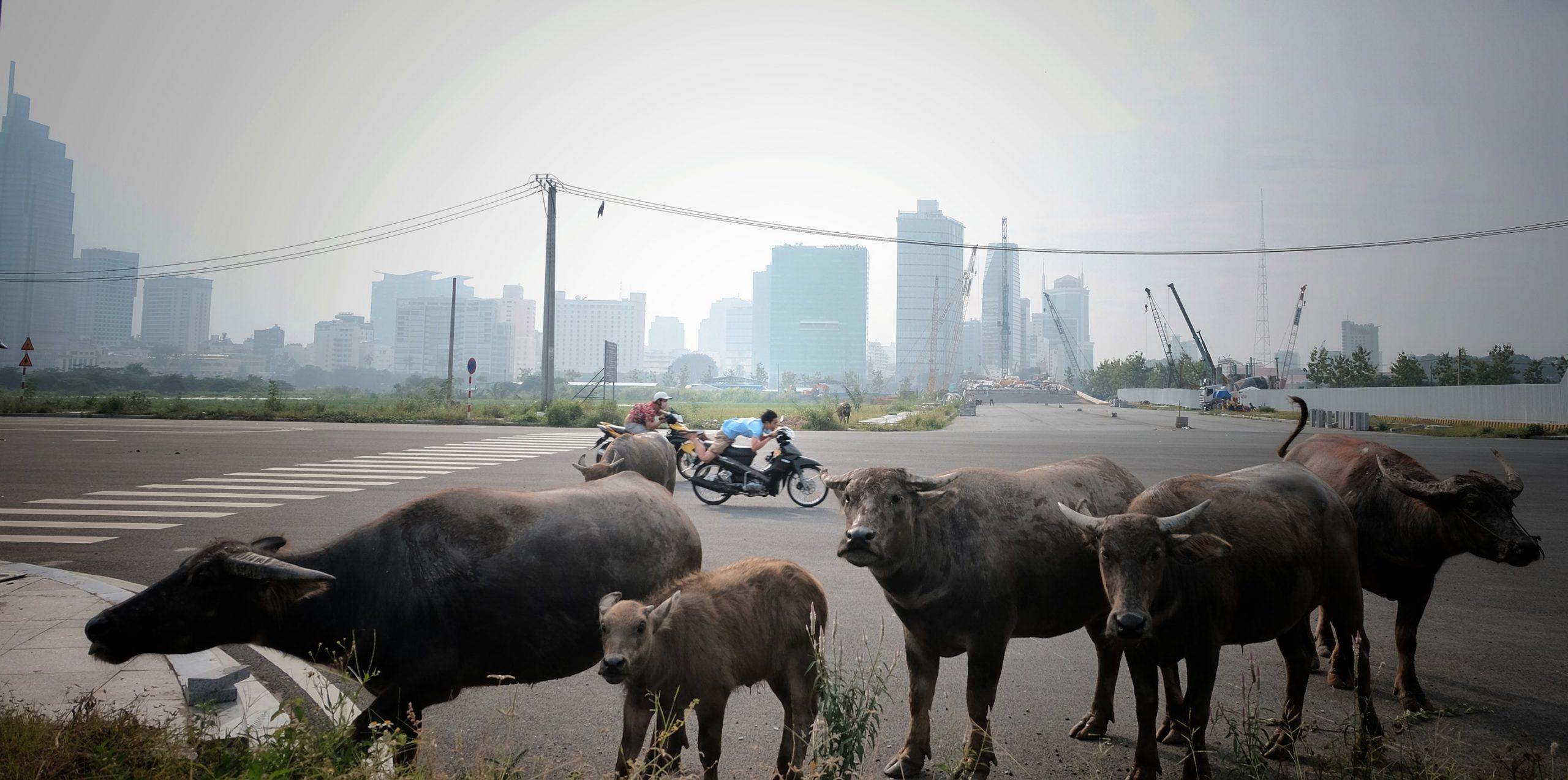 Đàn bò bên đường cao tốc