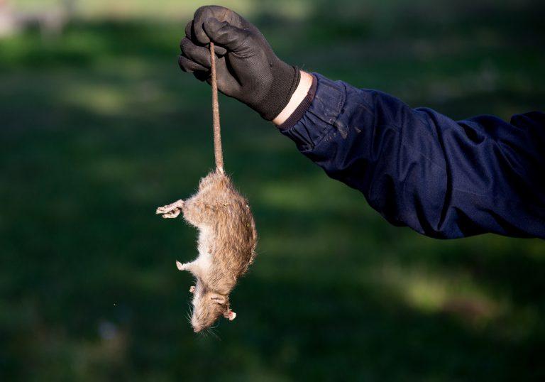 Viết cuối năm con Chuột