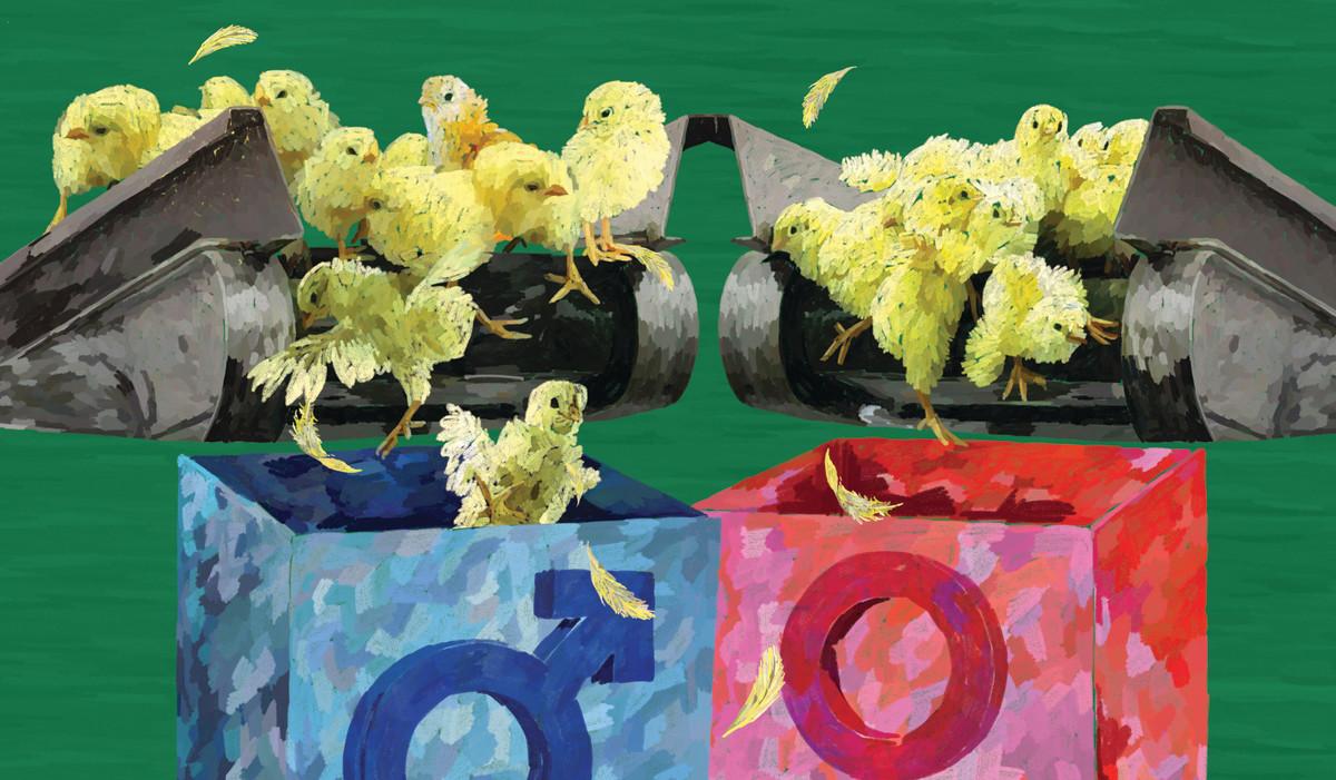 Giải thưởng 6 triệu USD nhằm cứu hàng tỷ chú gà con
